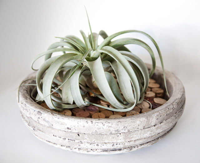 Airplant1