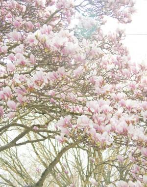 Magnolia_tree4